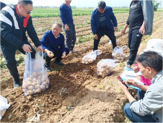 市農科院舉辦的設施馬鈴薯輕簡化栽培技ji)跏痙斷xian)場測產驗(yan)收會